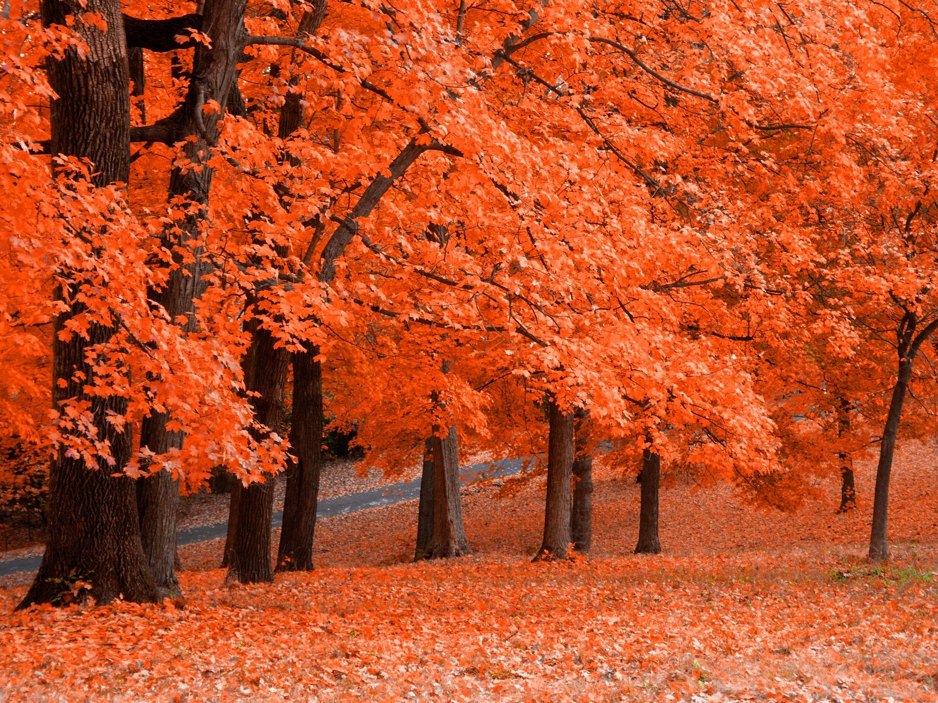 tree maple wallpaper