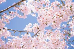 tree pictures cherry