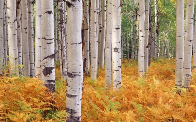 tree wallpaper aspen