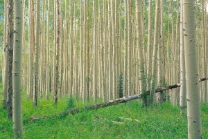 tree wallpaper aspen nature