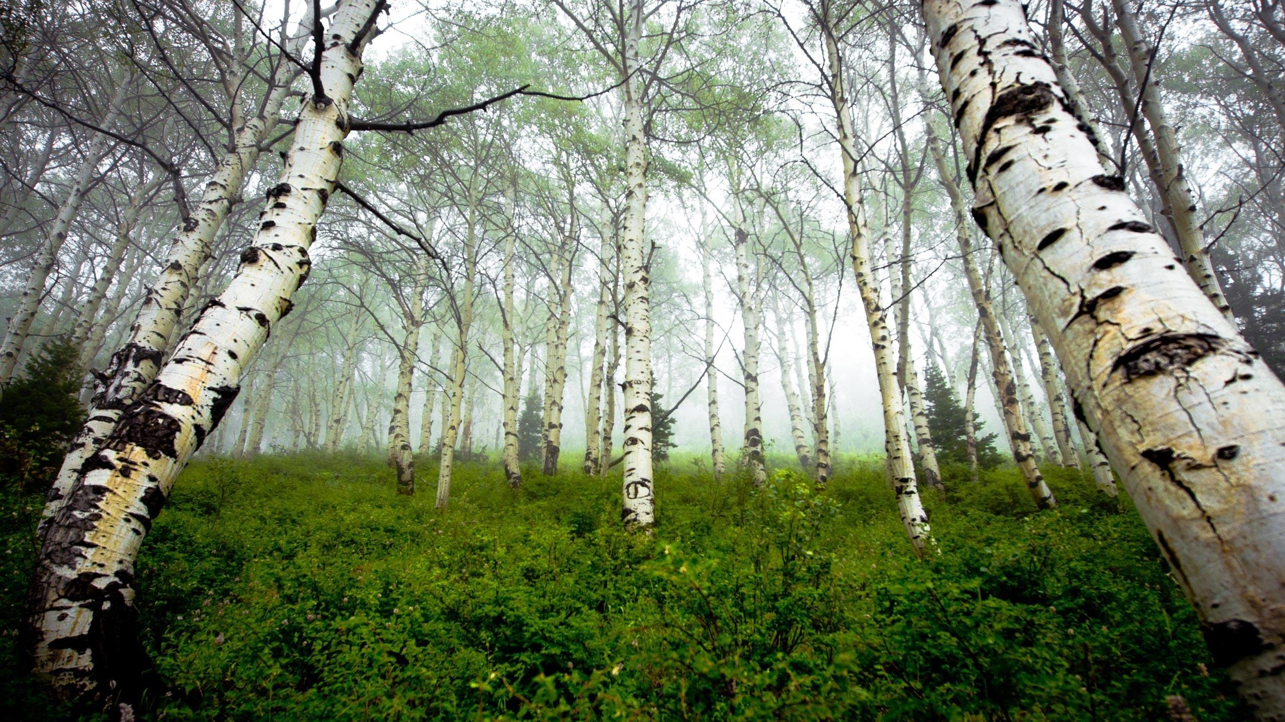 tree wallpaper birch free