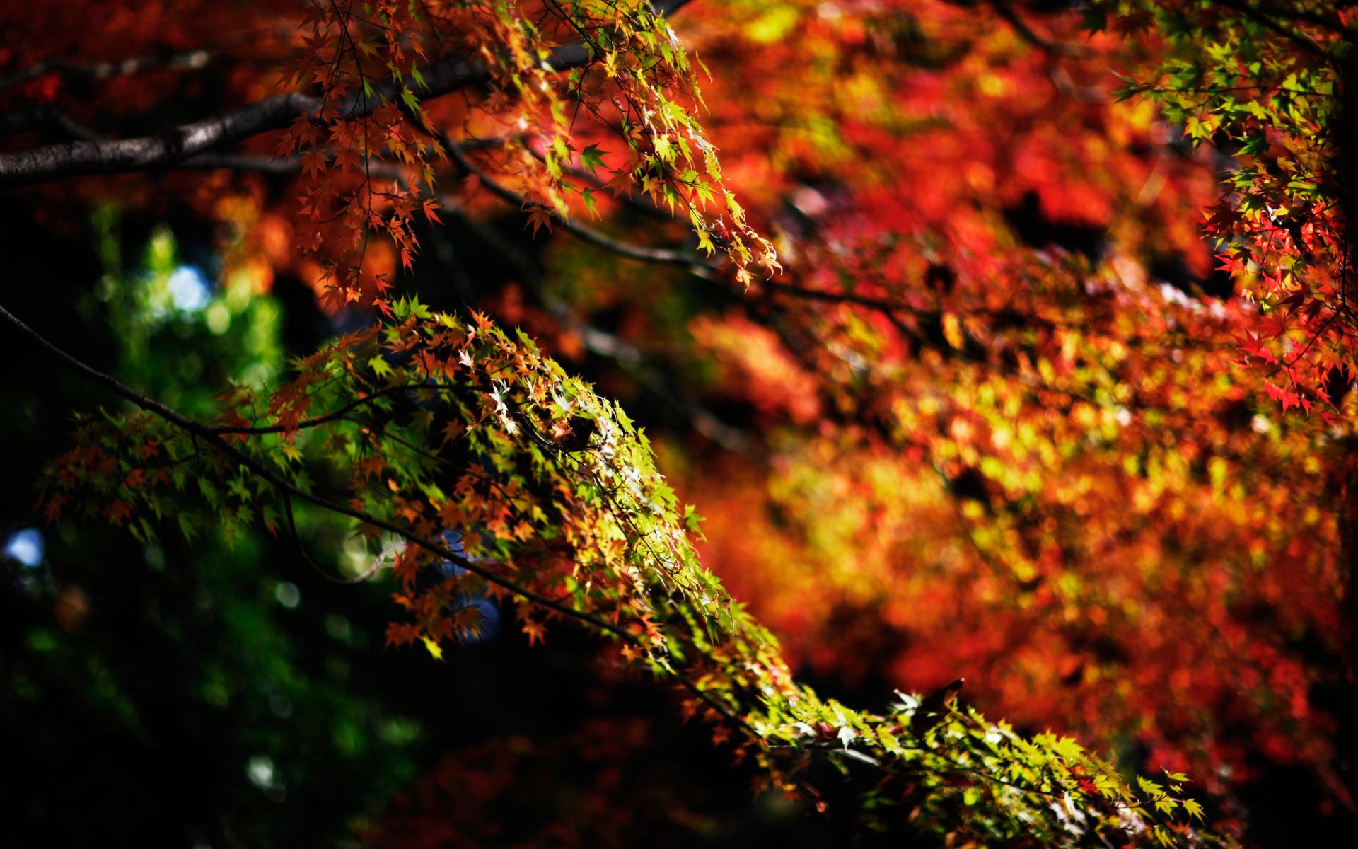 tree wallpaper maple hd