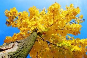 tree wallpaper maple yellow
