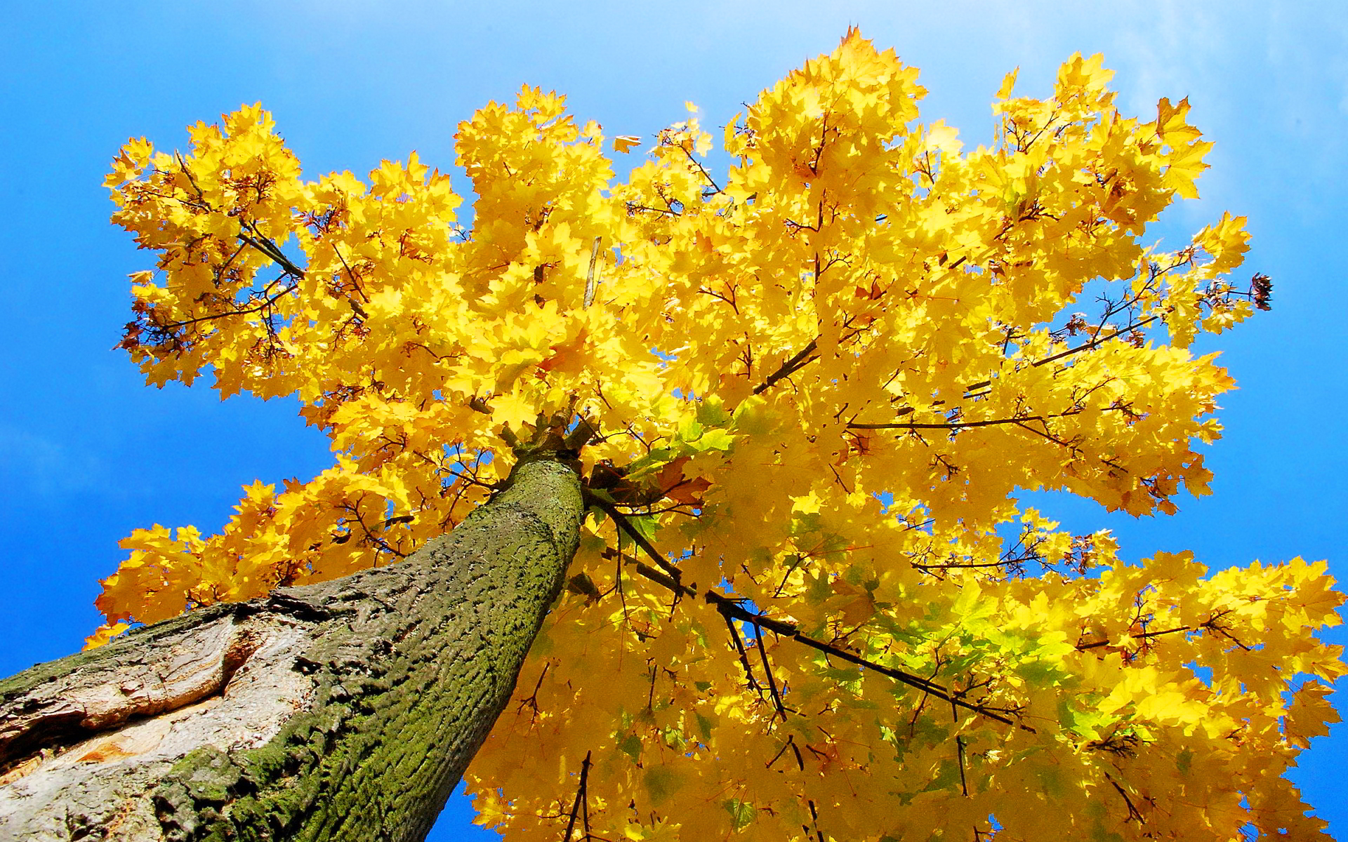 tree wallpaper maple yellow