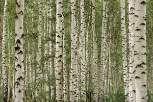 tree wallpaper wood