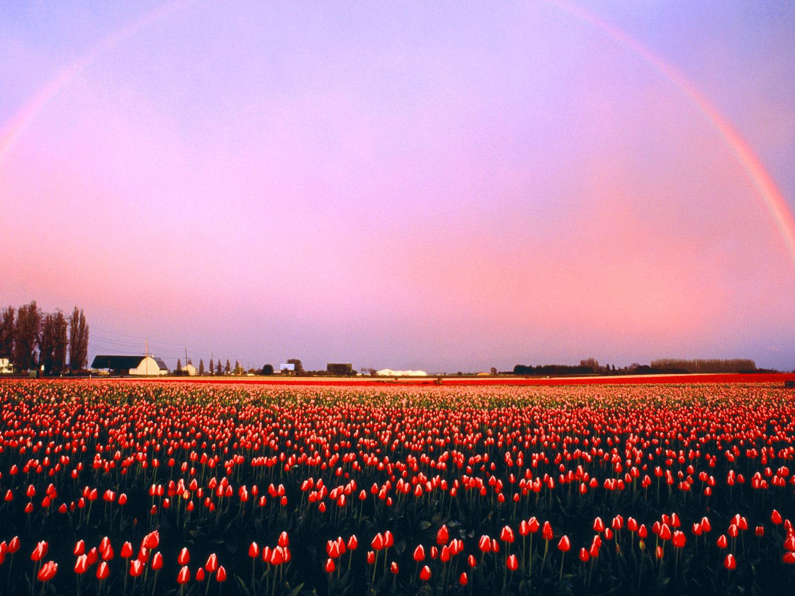 tulip fields cool