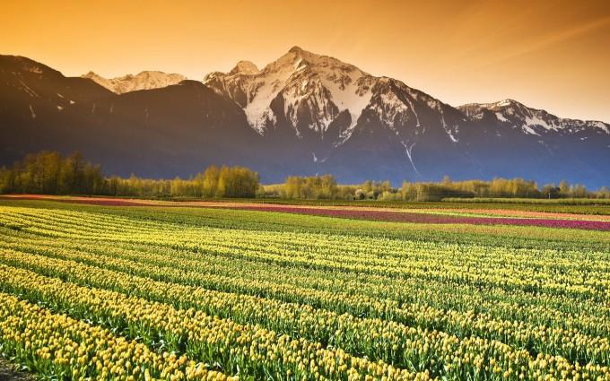 tulip fields hd