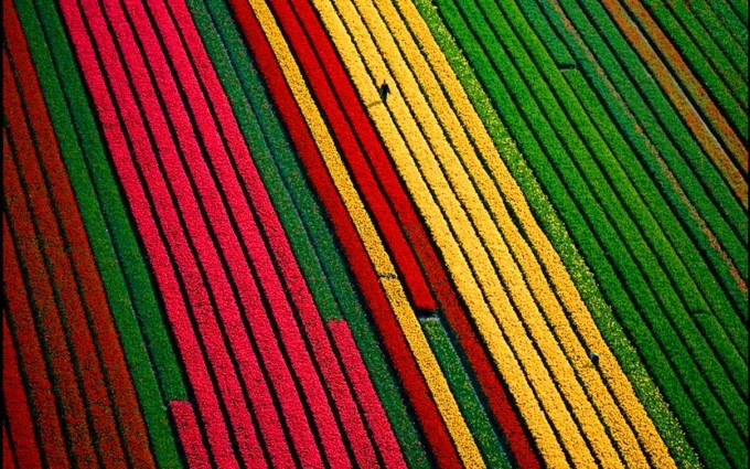 tulip fields mobile