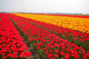 tulip fields red