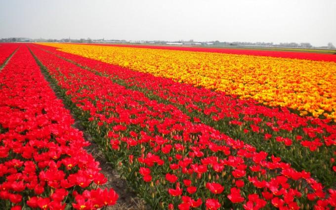 tulip fields red