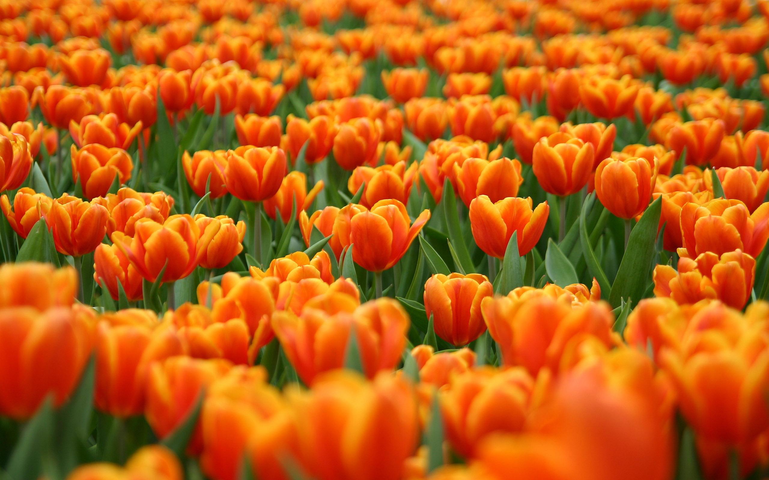 tulip flower picture field