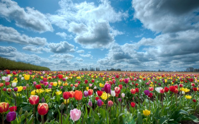 tulip flower pictures free