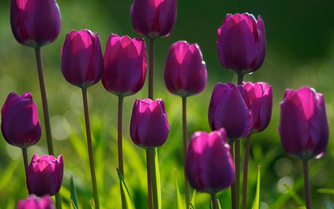 tulip flower pictures summer