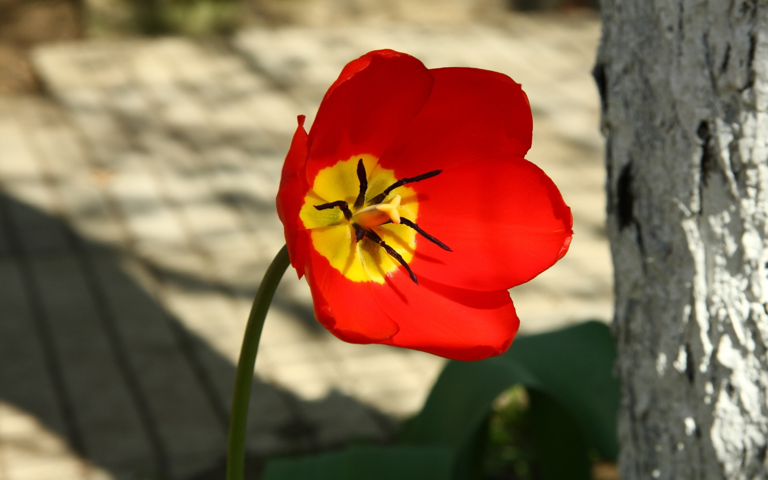 tulip flower wallpaper red