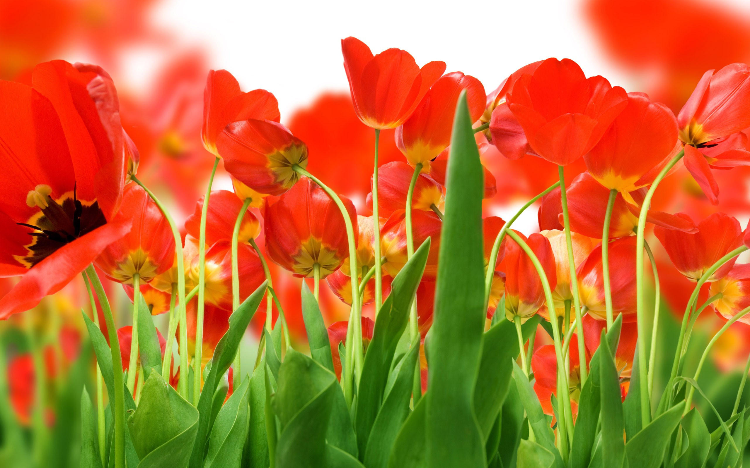 tulip flowers wallpapers red