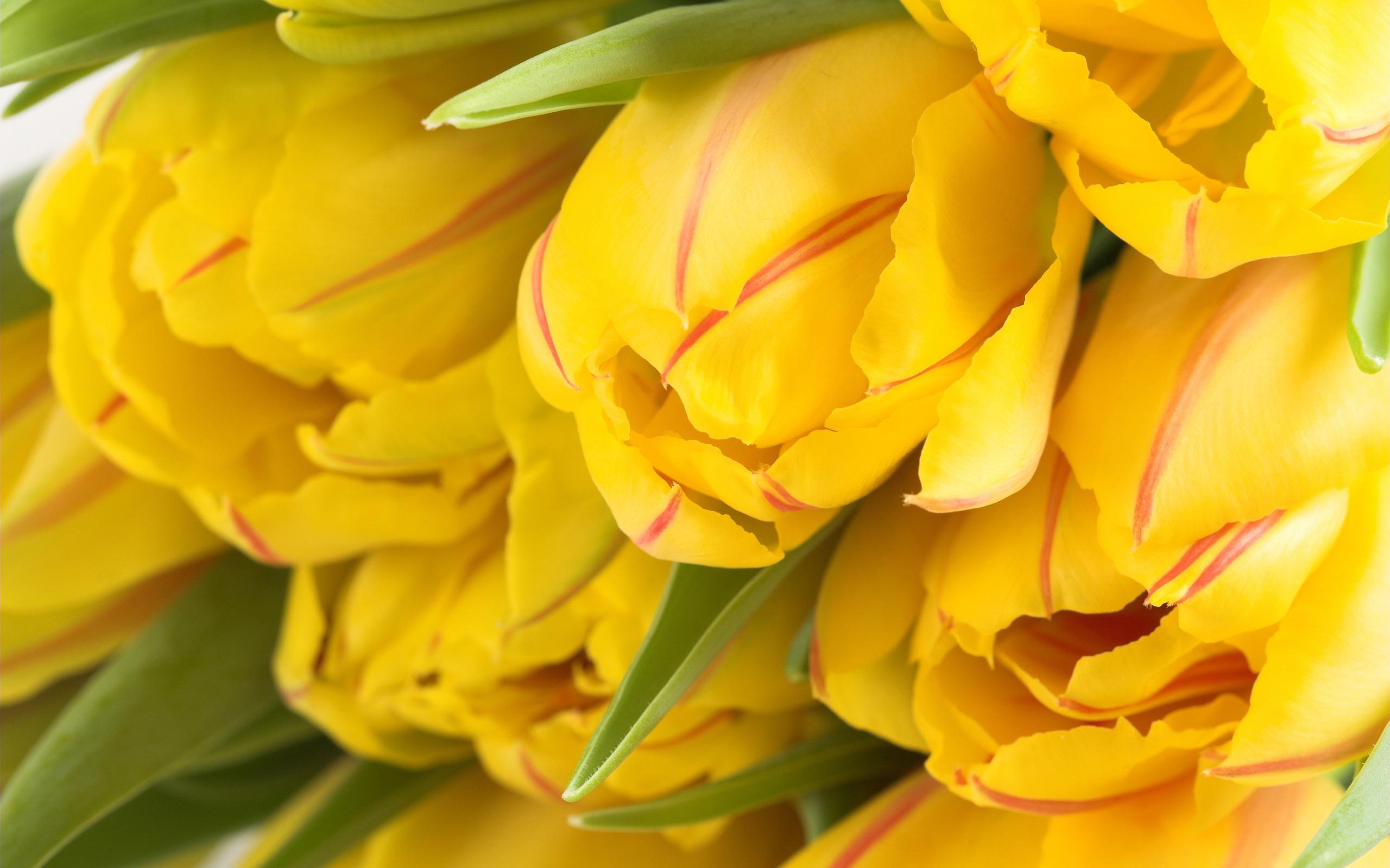 tulips background yellow