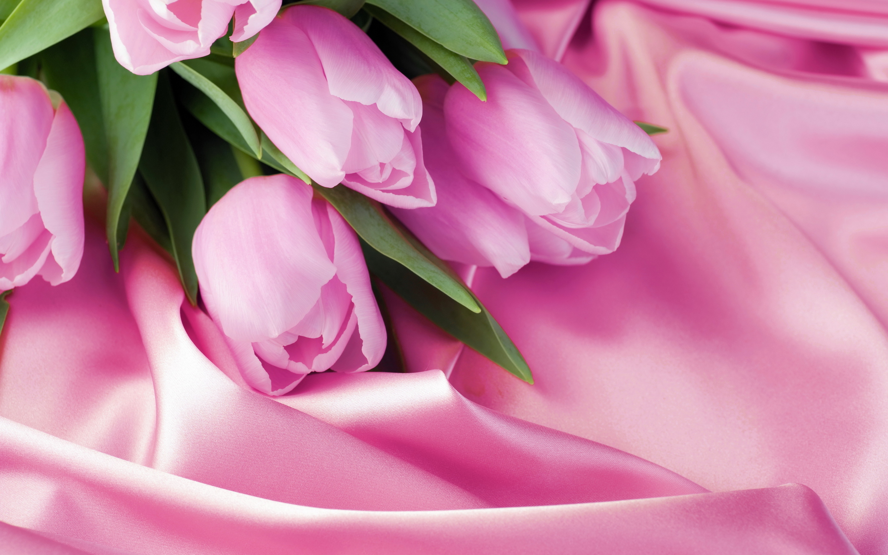 tulips flower pictures pink