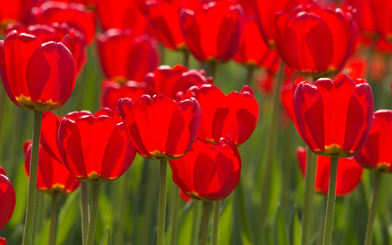 tulips flower wallpaper desktop