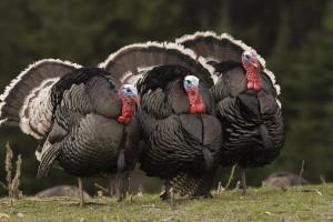 turkey hd