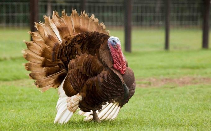 turkey wallpapers bird