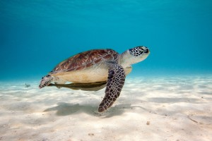 turtle underwater hd