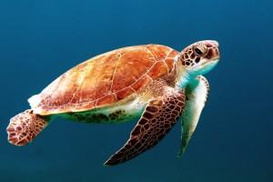 turtle wallpaper hd
