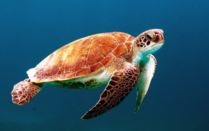 turtle wallpaper hd