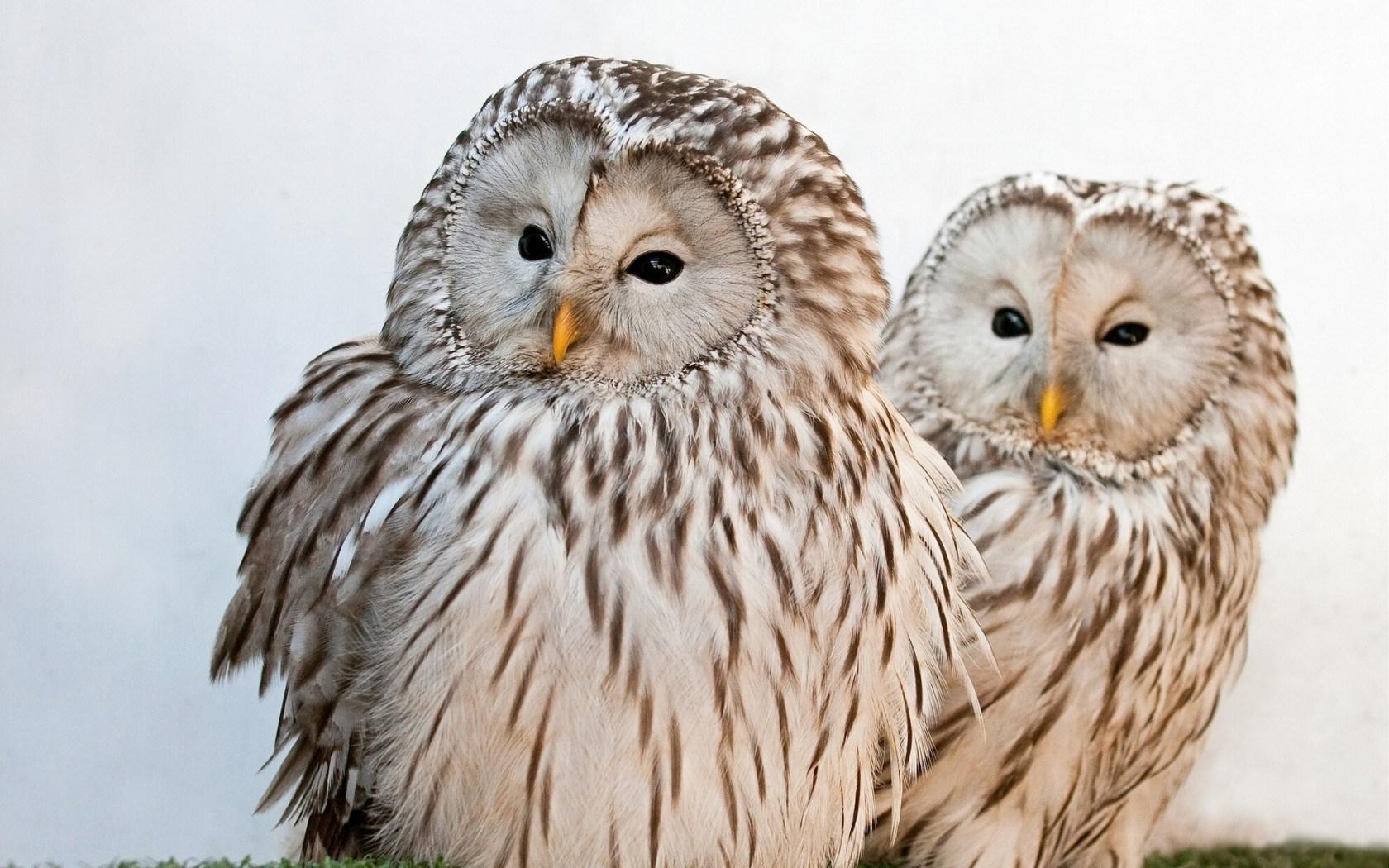 Ural Owls - HD Desktop Wallpapers