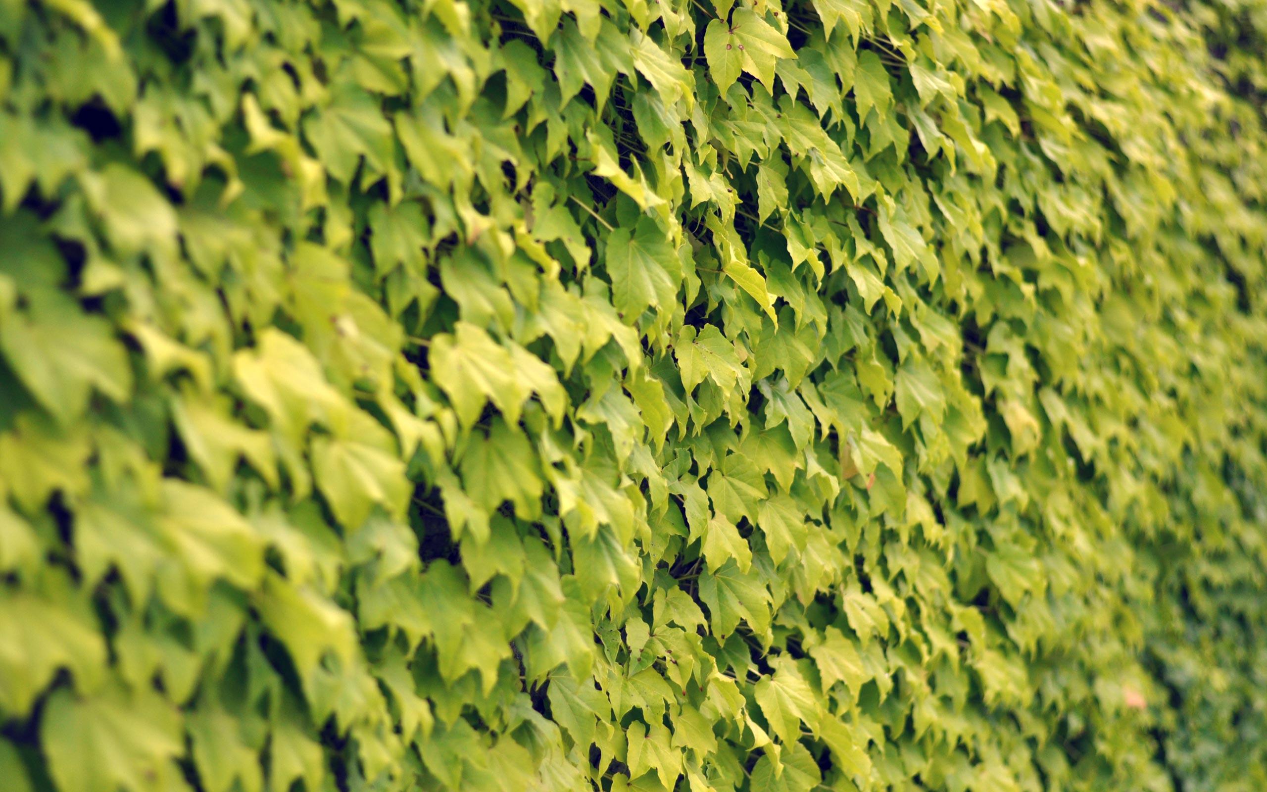 vines wallpapers