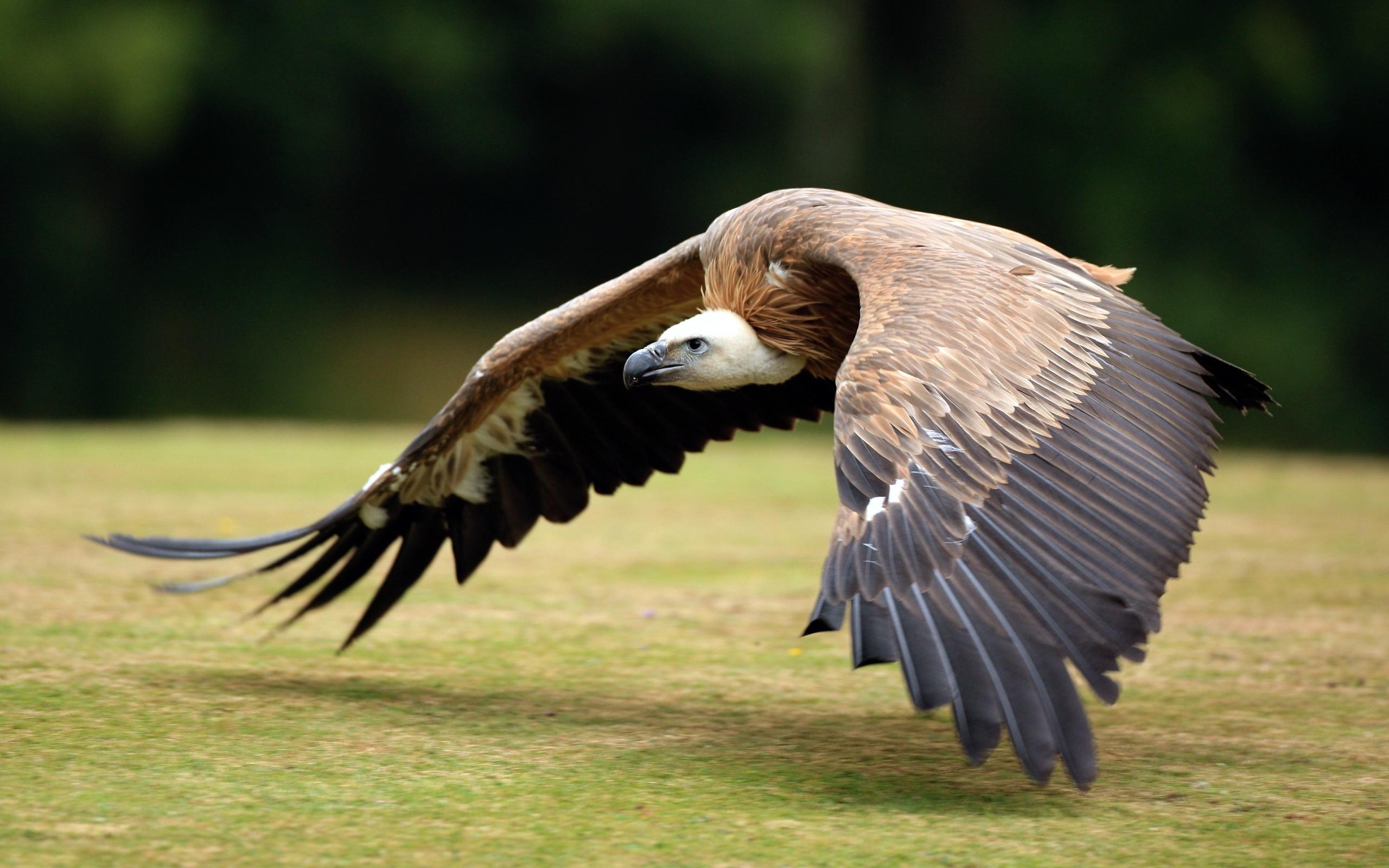 vulture wallpaper