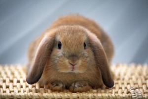 wallpaper bunny