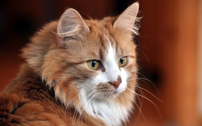 wallpaper cat hd