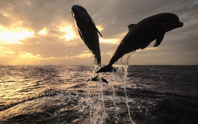 wallpaper dolphins