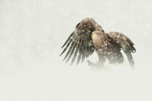 wallpaper eagle