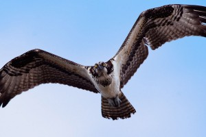 wallpaper eagle free