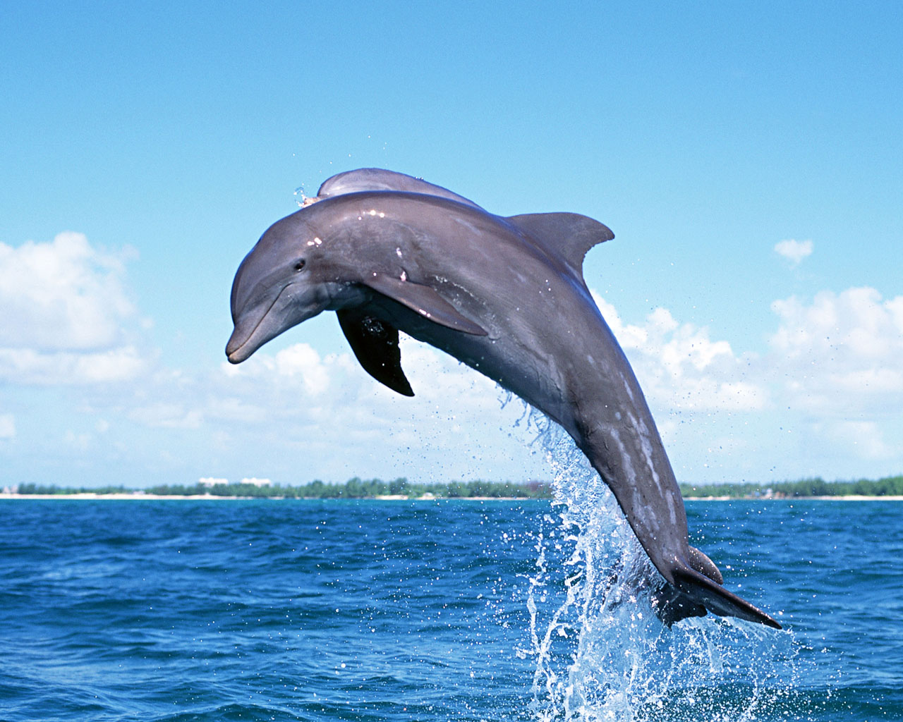 wallpaper of dolphin
