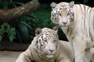 wallpaper of tiger