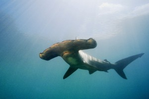 wallpaper shark