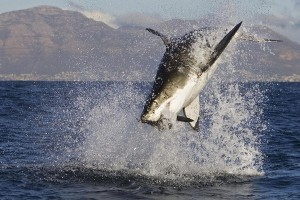 wallpaper shark hd