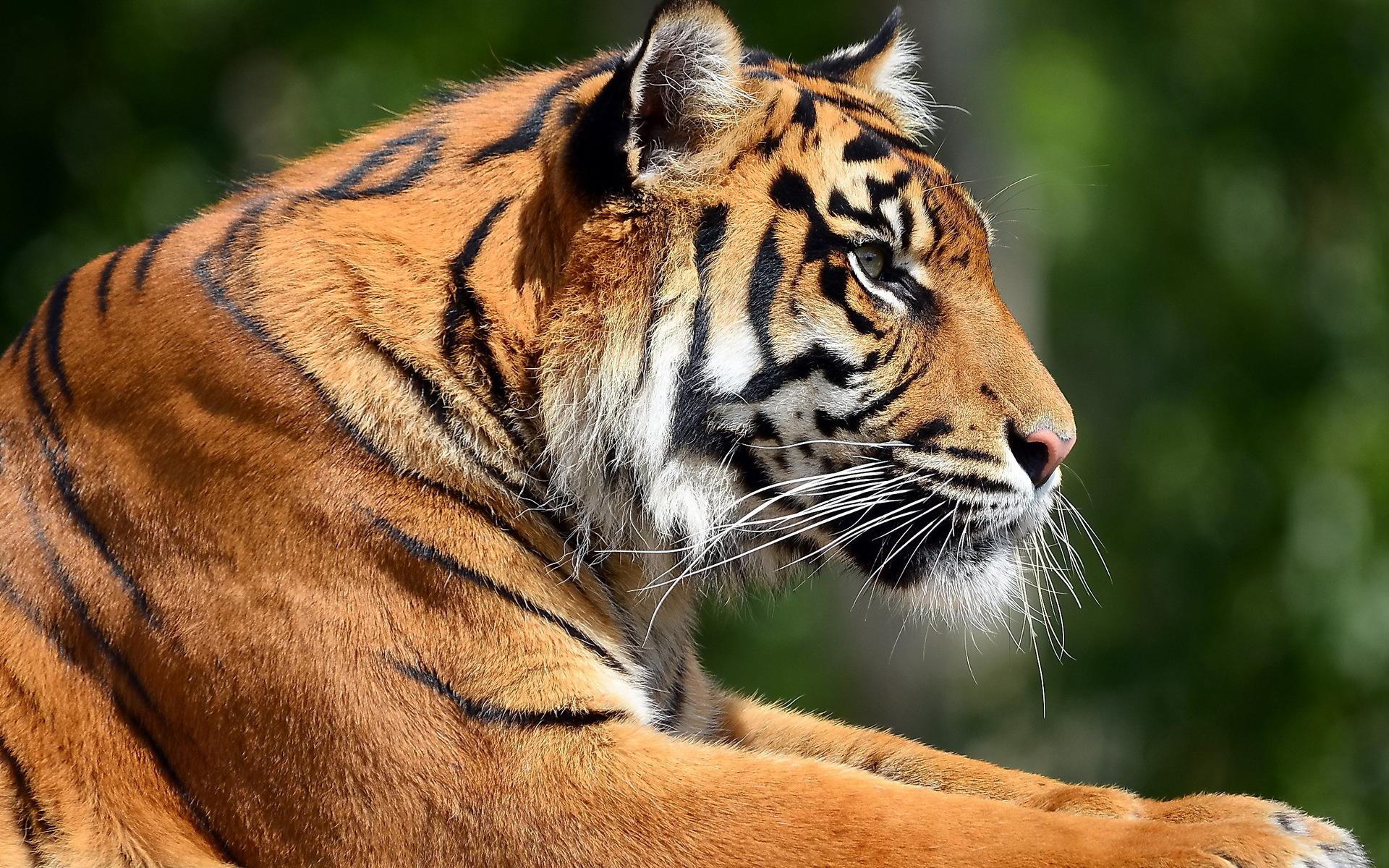 wallpaper tigers