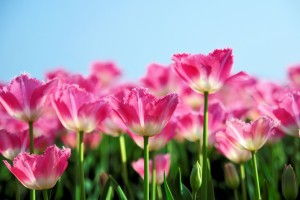 wallpaper tulip flowers