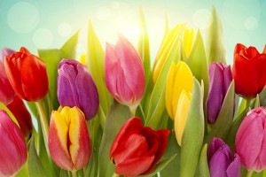 wallpaper tulips flowers colors