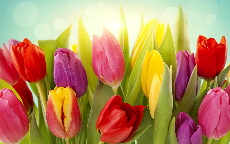 wallpaper tulips flowers colors
