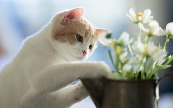 wallpaper white cat