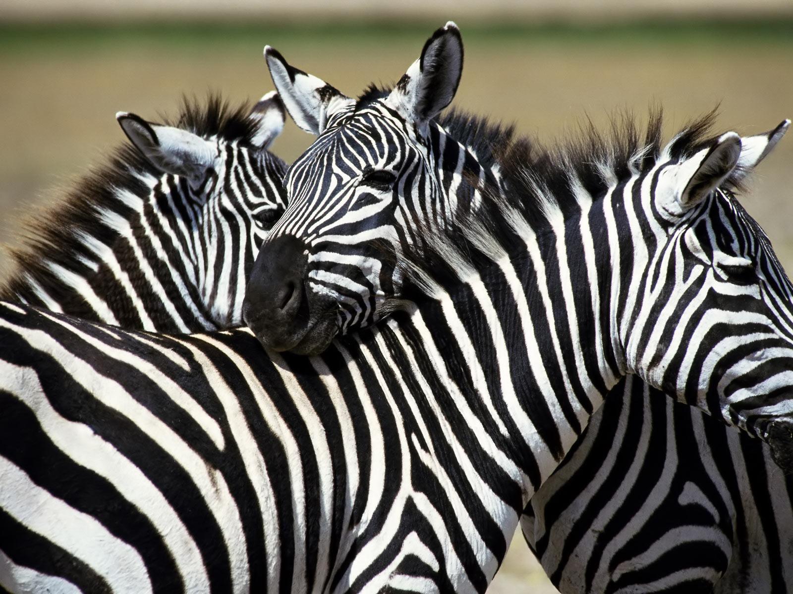 wallpaper zebra