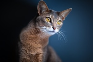 wallpapers beautiful cat