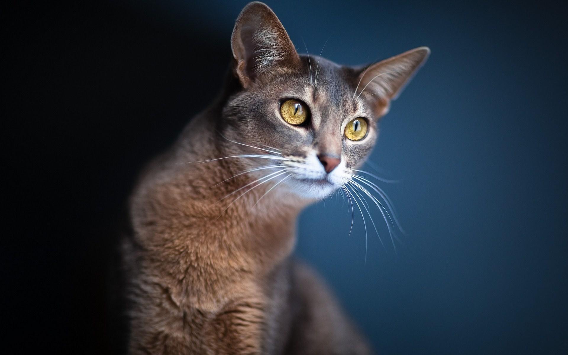 wallpapers beautiful cat