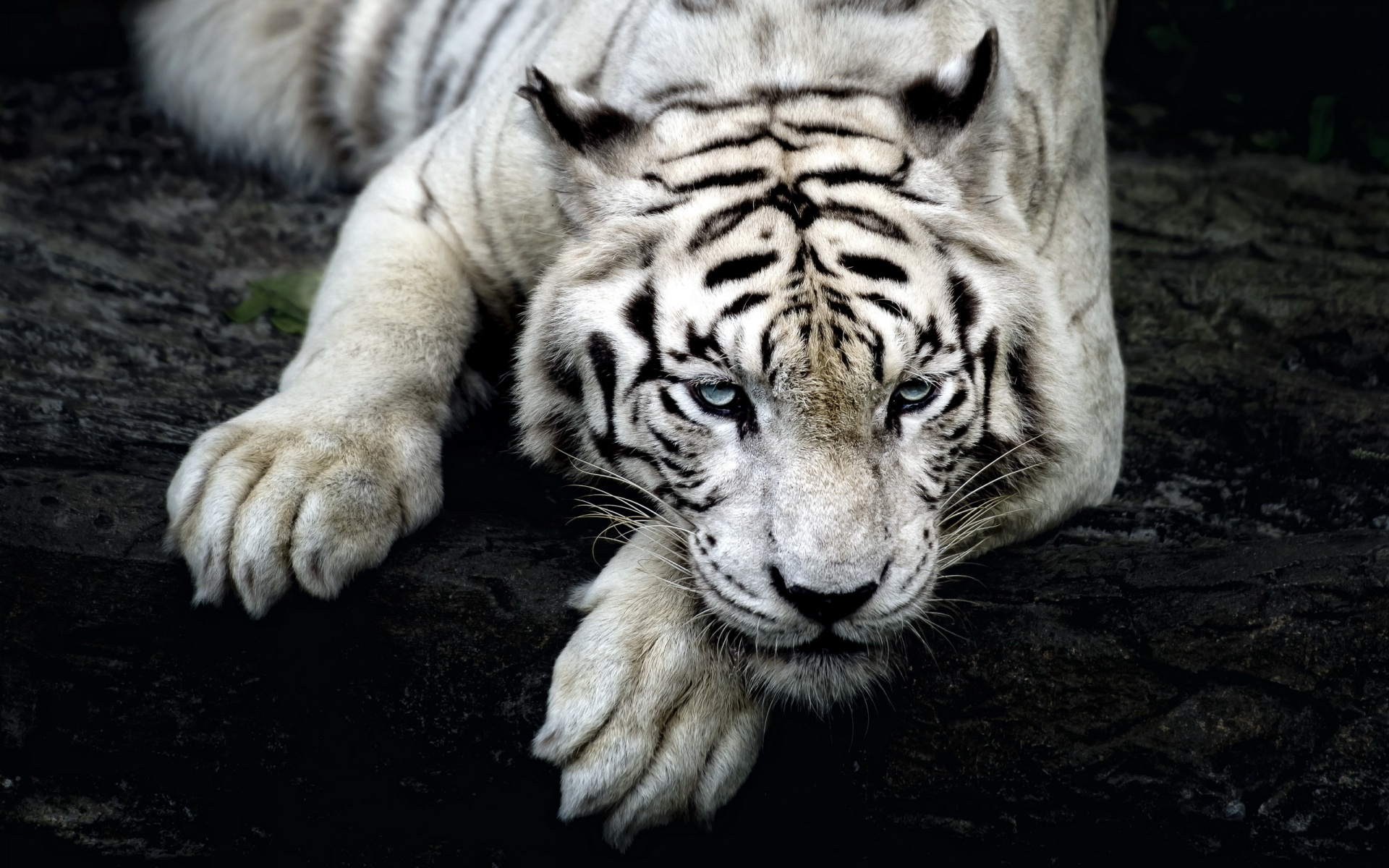 wallpapers of tiger white