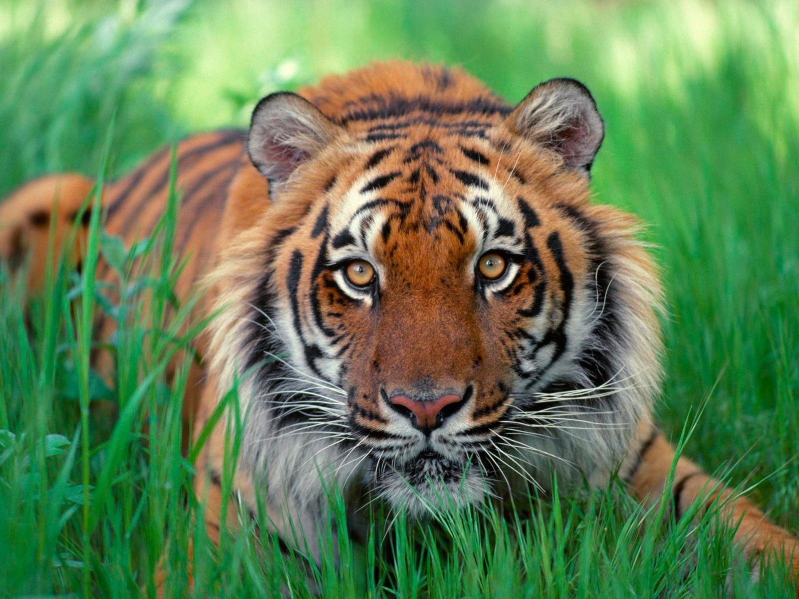 wallpapers of tigers