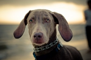 weimaraner backgrounds